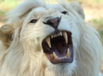 Roaring white lion picture 150 wide